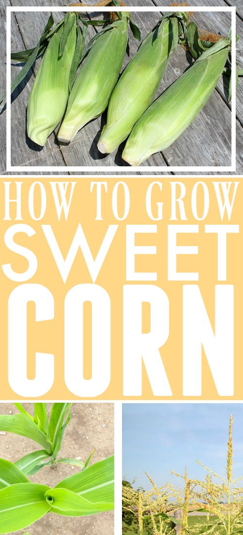Corn on the cob is one of the best things about summer meals and it's even better if you grow it yourself! Here are some of our best tips for how to grow sweet corn!