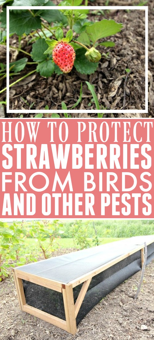 Tired of birds and other pests devouring your strawberries before you get to pick them? Here's the best way to protect strawberries and enjoy a bountiful harvest.