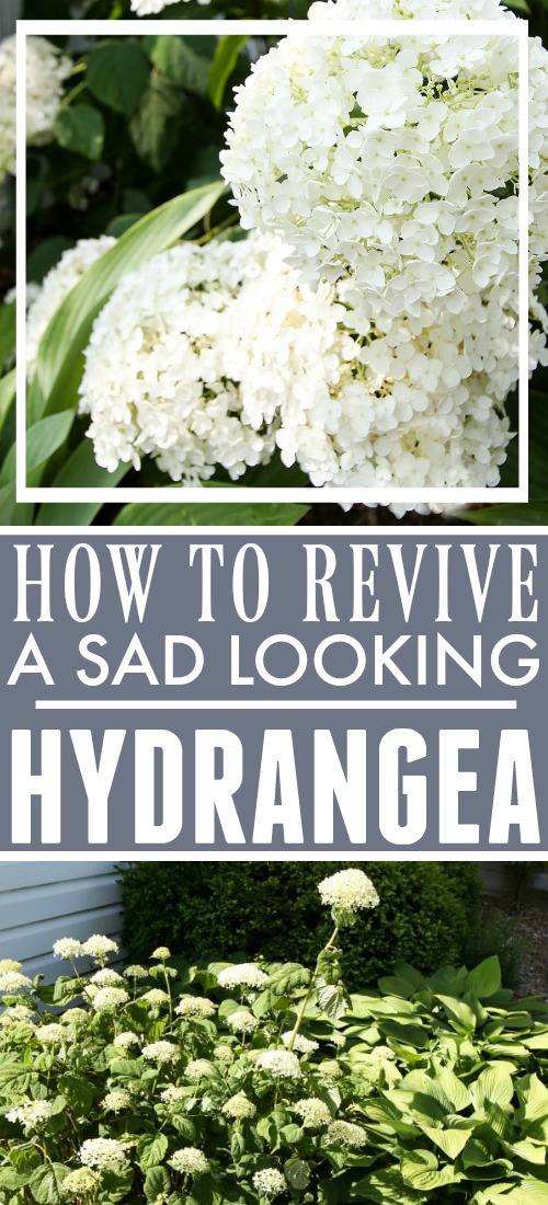 Dying hydrangea plants can ruin the look of your beautiful flower gardens. Find out how to revive hydrangeas with this simple trick!