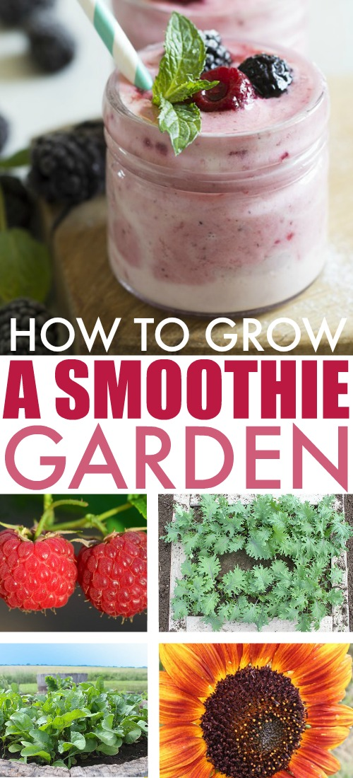 Who doesn't love a smoothie? You've seen salsa gardens, and salad gardens, but have you ever seen a garden grown specifically for making smoothies? Here's how to grow a smoothie garden!
