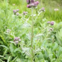 How to Deal with Thistles in Your Garden