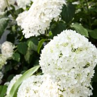 Emergency First Aid for Hydrangea Problems