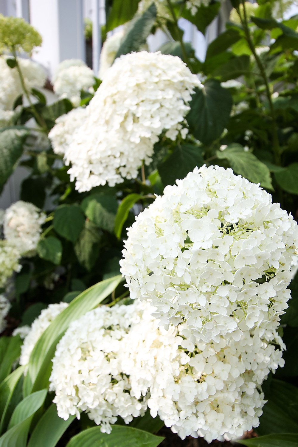 Try these emergency first aid tactics for hydrangea problems first before you go too crazy buying the entire pesticide aisle at the garden centre!