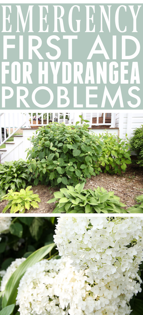 Hydrangea problems are pretty common and the solutions you read about can often seem overly complicated for this plant that's supposed to be easy to grow. Try these emergency first aid tactics first before you go too crazy buying the entire pesticide aisle at the garden centre!