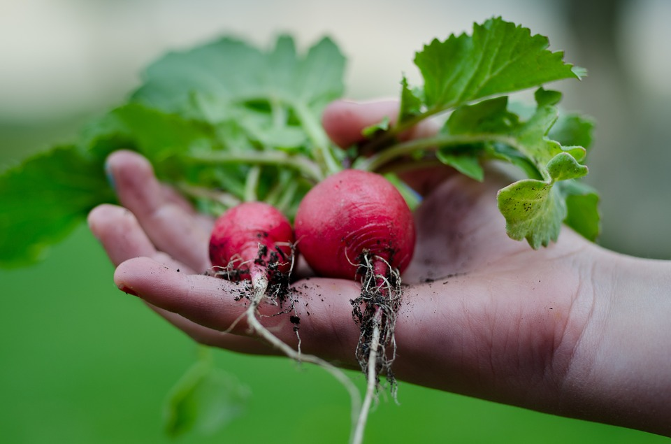 If you're looking to try growing a veggie garden, but aren't sure where to begin, start with these favourites that will give you an instant feeling of success! Here are the easiest veggies to grow in your garden.