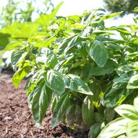 The Secret to Growing Basil Successfully