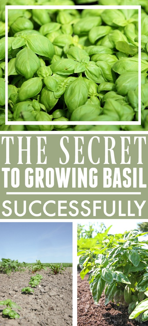 Growing basil can sometimes be surprisingly challenging, as I learned long ago. If you're experiencing unsatisfactory results from your basil, here's the secret to growing basil successfully!