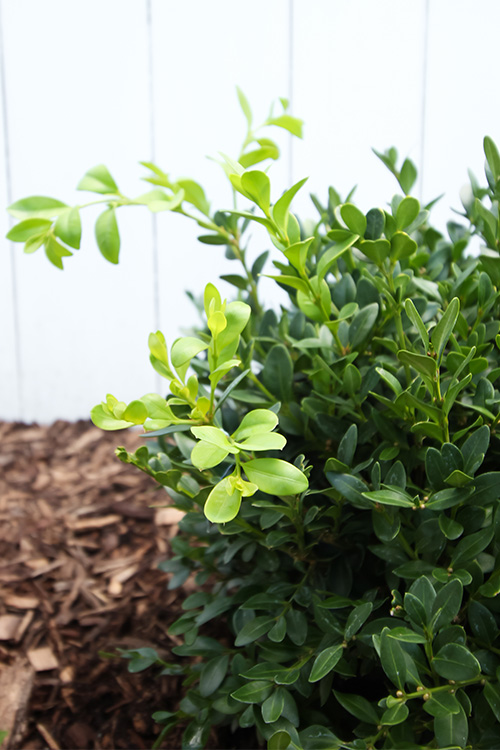 Boxwood hedges are beautiful in almost any type of garden, but they can sometimes be a bit tricky to get started. Here's how to grow boxwoods!