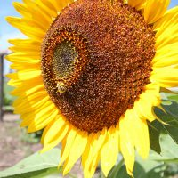 How to Protect Sunflowers from Birds