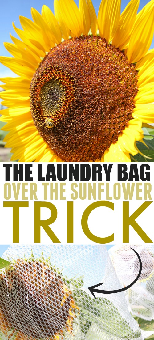 Try this clever sunflower trick to protect sunflowers from birds if the birds are getting to your sunflowers seeds before you do!
