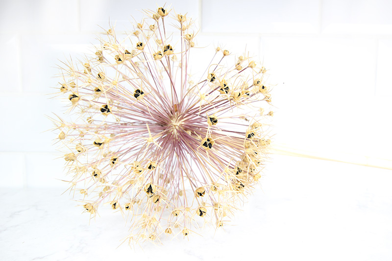 Alliums are spectacular in your garden during the summer months, but they're just as beautiful once they dry in the fall! Here's how to use them to create beautiful dried allium Christmas ornaments that you can use on your tree!