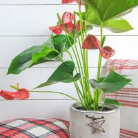 Christmas House Plants That Aren't Poinsettias