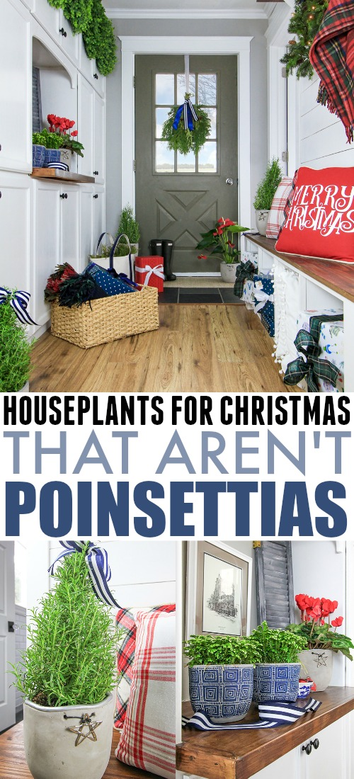 If you don't really love the look of poinsettias, or if you just can't seem to keep one alive, one of these Christmas plant alternatives may be just the thing you're looking for!