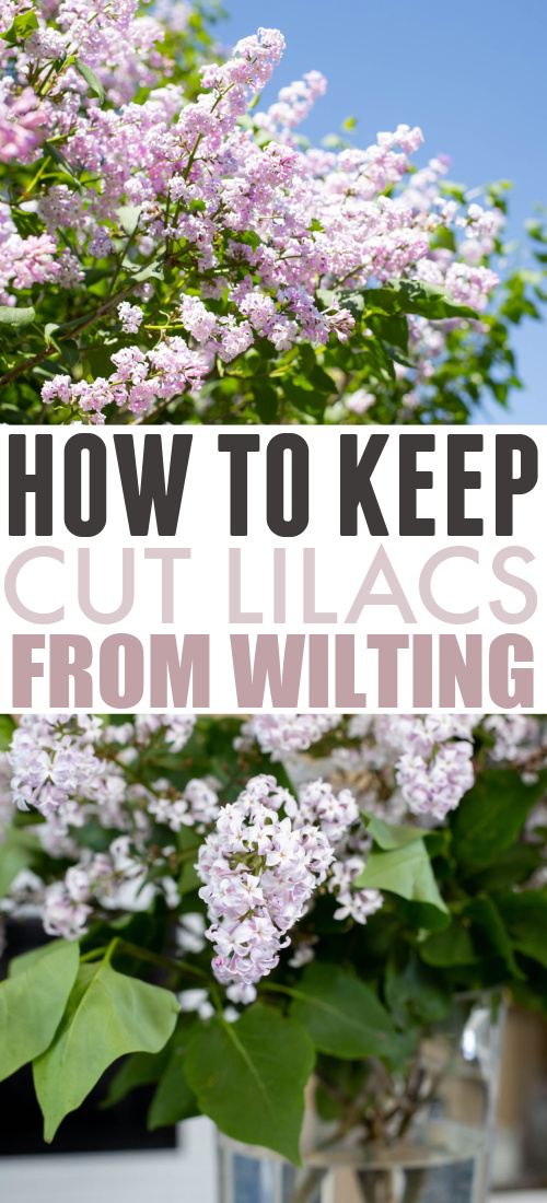 With a few clever tricks, you can keep cut lilacs from wilting so you can enjoy them in your home for longer! Well, for as long as the season lasts at least! :)