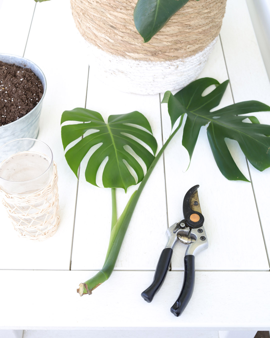 You may have heard that it's really easy to propagate monstera plants, but there's a little trick to it that will make all the difference in how successful you are!