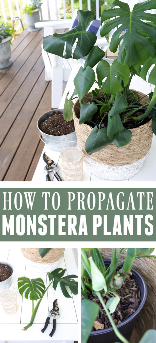 You my have heard that it's really easy to propagate monstera plants, but there's a little trick to it that will make all the difference in how successful you are!