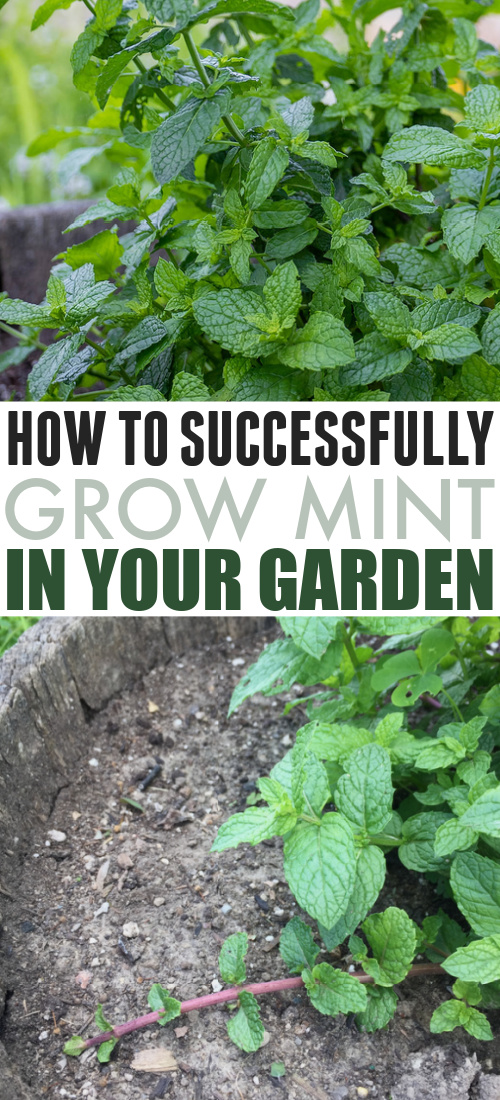 Have you been trying to grow mint because you heard it's one of the easiest plants to grow? If you've found that it takes a little more to grow mint successfully, you're not alone. Here's what I've learned.