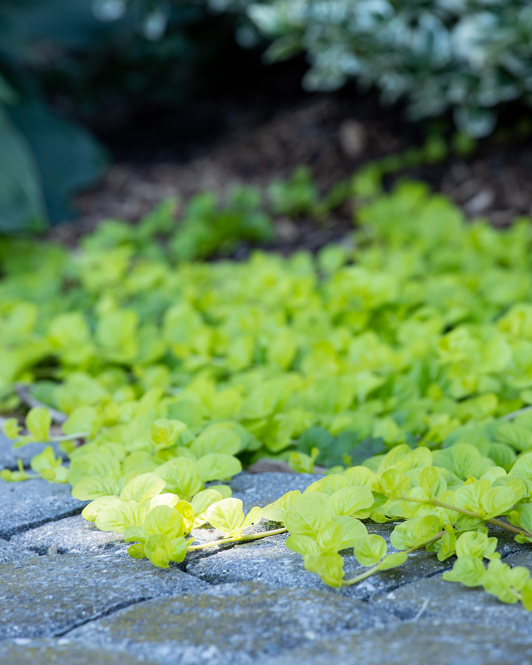 Today I'll be sharing my tips for how to grow Creeping Jenny, one of my favourite plants for brightening up dull or dark spots in the garden!