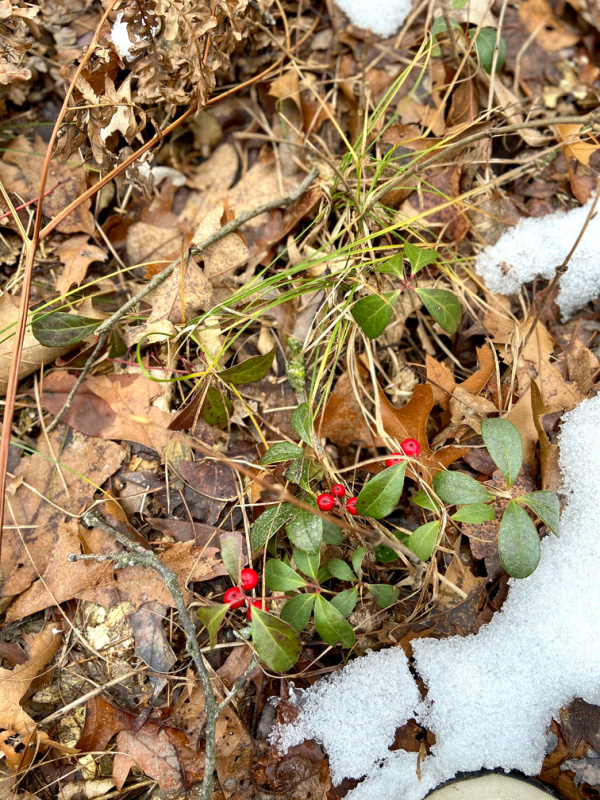 Red berries in the forest and Christmastime