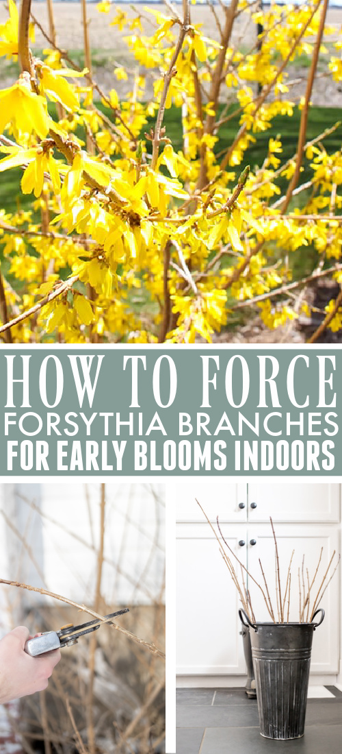 Now is the perfect time to give yourself an early glimpse of the spring to come! Here's how to force forsythia branches and enjoy their blooms inside your home!