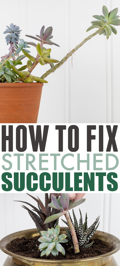 In today's post I'll share how to fix stretched succulents if your favourite succulents have started to look a little bit leggy and stretched out.