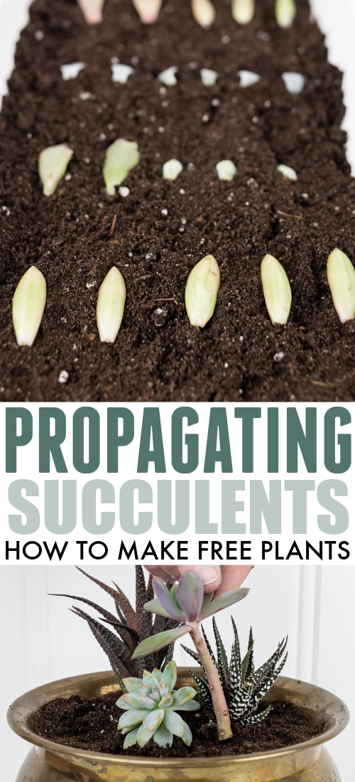 Learn how to propagate succulents using just a leaf taken from an existing plant! This is both really neat and a great way to grow yourself some free plants!