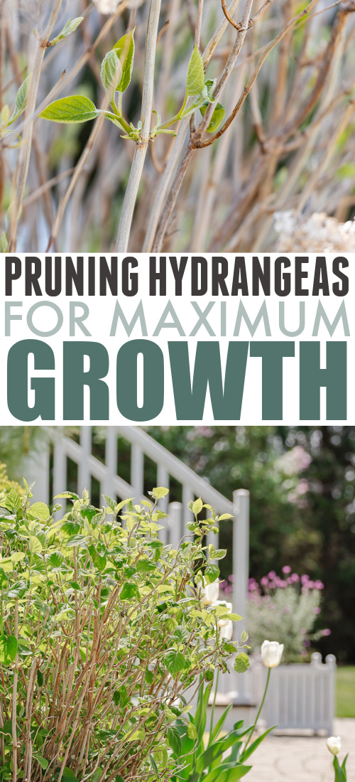 Just a quick post today to share a little hydrangea pruning tip that has been so helpful to me! Here are my thoughts on pruning hydrangeas for maximum growth.