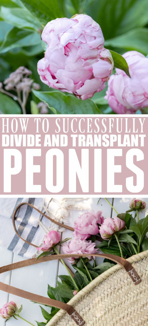 We've moved and transplanted a few different peonies over the years and you'll be happy to know that it can be easily done. Even though peonies might look beautiful and delicate, they're great strong plants! Here's how to divide peonies.