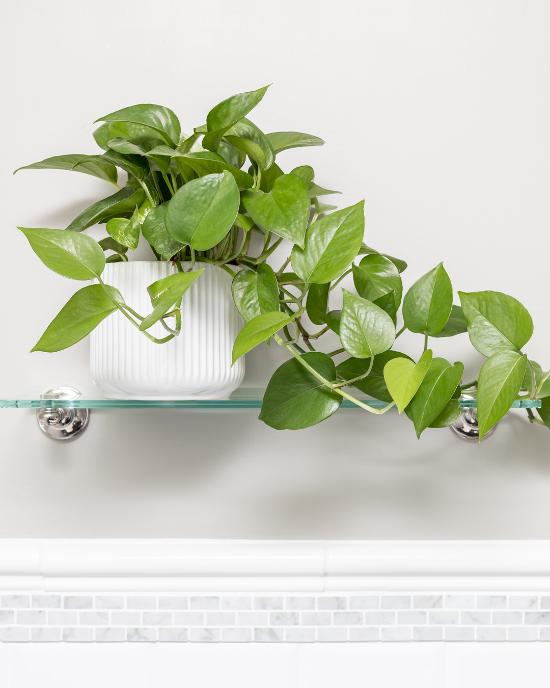 Once you have one pothos plant, it's easy to propagate it over and over again to create more for yourself and to share with friends and family! Here's how to propagate pothos plants!