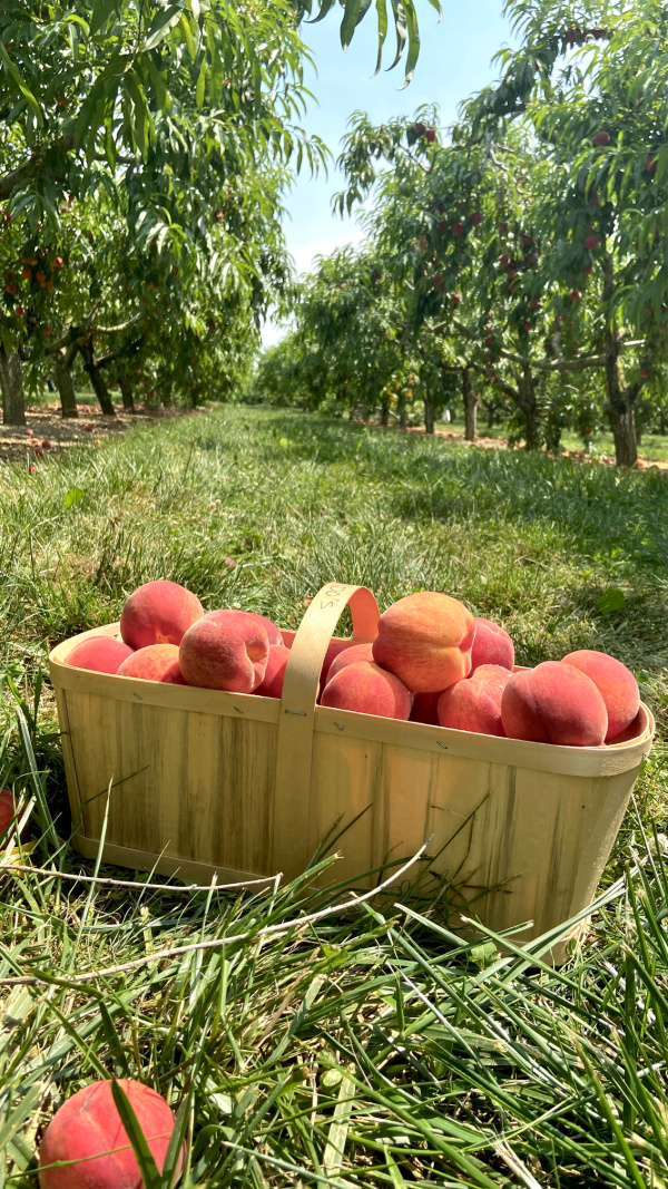Five Things on a Friday - Peach Picking
