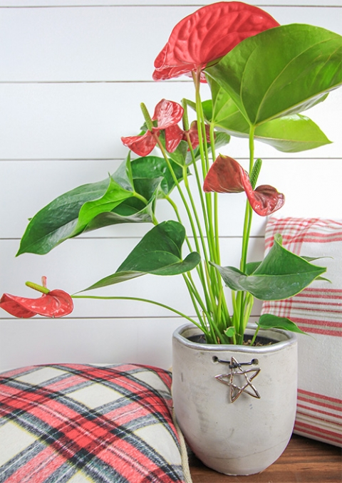 Christmas House Plants That Aren T Poinsettias The Creek Line House
